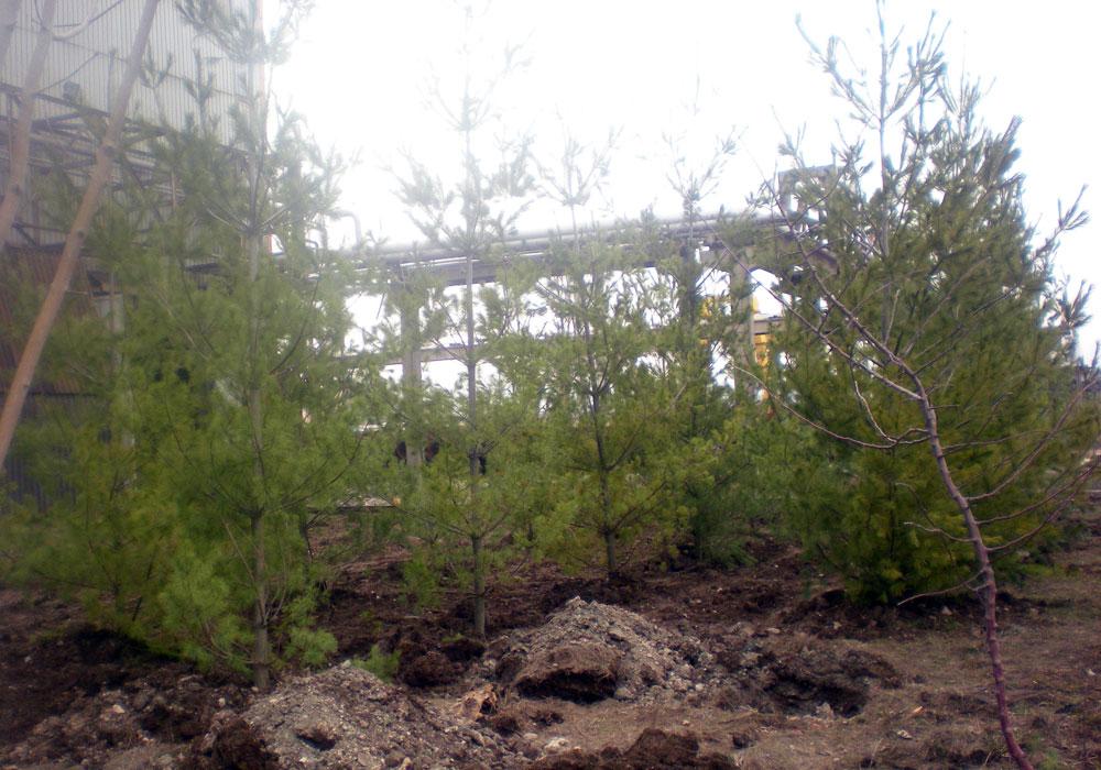 """Завод """"Стомана"""". Изграждане на шумозаглушителна зона - иглолистни"""